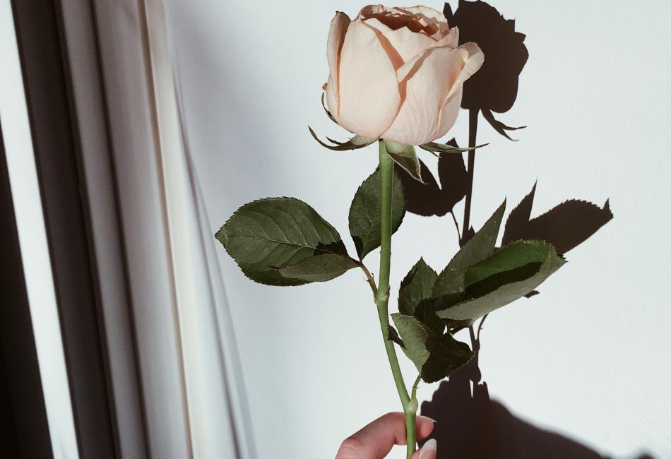 Rosenöl Wirkung und Anwendung